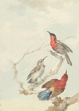 Drei karminrote Nektarvögel, Aert Schouman