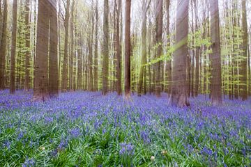 Hyazinthen-Wald von Ben Elbertsen