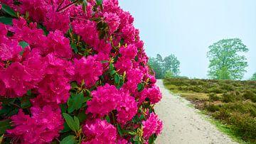 Blühende violette Rhododendren von Jenco van Zalk
