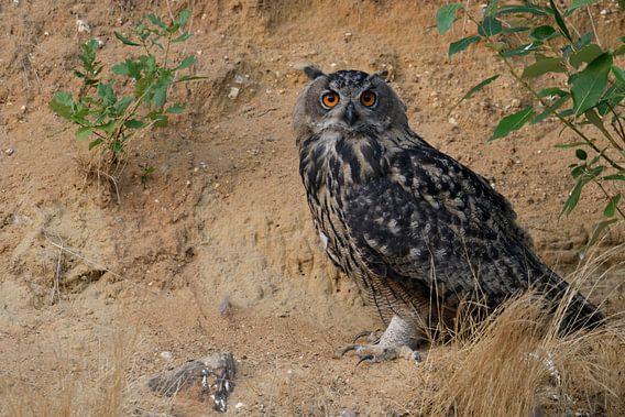 Eurasian Eagle Owl / Uhu ( Bubo bubo ), sitting, resting under a bush, watching