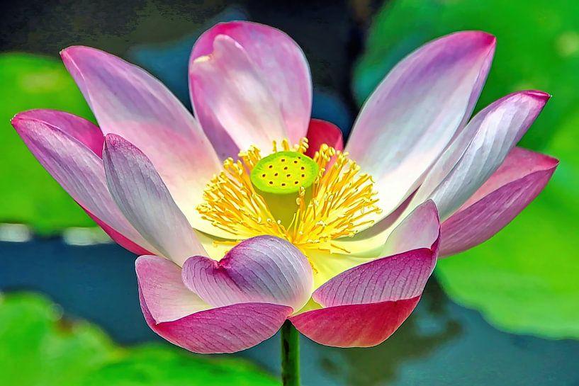 Lotus sacré sur Eduard Lamping
