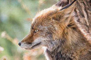 Portret van een jonge vos vanaf de zijkant gefotografeerd
