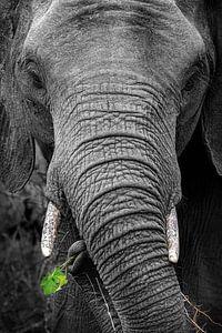 Gros plan noir et blanc d'un éléphant avec des feuilles vertes dans la trompe sur Krijn van der Giessen