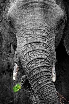 Schwarz-weiße Nahaufnahme eines Elefanten mit grünen Blättern im Rüssel von Krijn van der Giessen