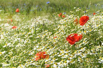 Zonnige zomerweide met bloeiende klaprozen, veel kamille of witte madeliefjes en korenbloemen, mooie van Maren Winter