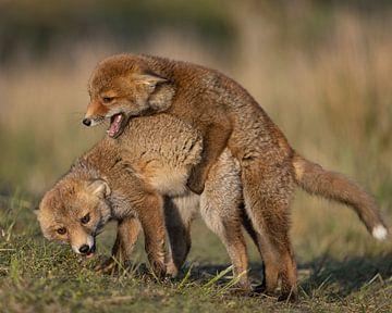 Twee jonge vossen aan het spelen van Patrick van Bakkum