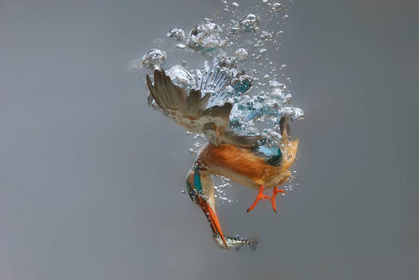 IJsvogel - National Geographic winner!! Vrouwtjes ijsvogel in actie, duikend onder water van Dirk-Jan Steehouwer