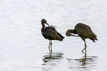 Zwarte ibissen  van Hans van der Does