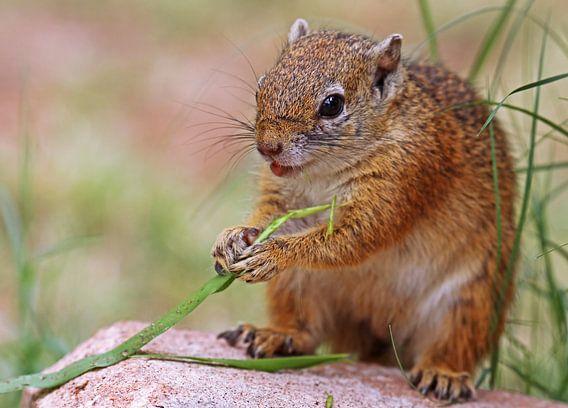 Squirrel - Africa wildlife van W. Woyke