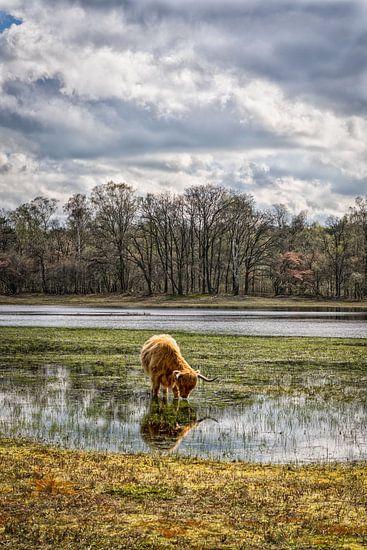 Schotse Hooglander op laag water..