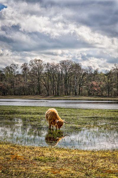 Schotse Hooglander op laag water.. van Pascal Raymond Dorland