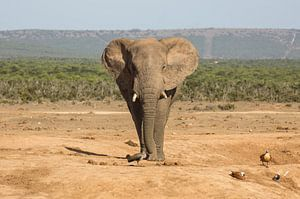 Afrikaanse olifant op weg naar een drinkpoel.