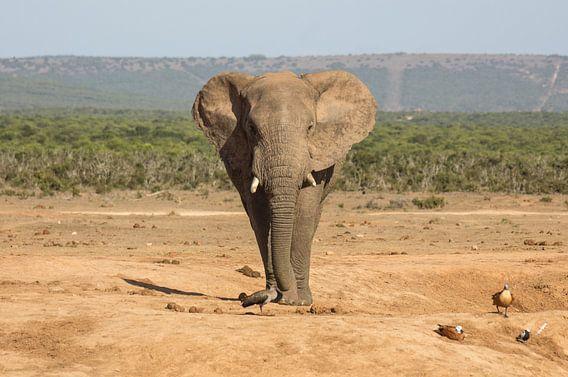 Afrikaanse olifant op weg naar een drinkpoel. van Ron Poot