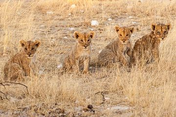 Vier leeuwenwelpjes op rij van
