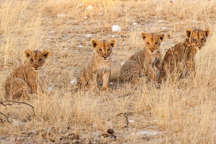 Vier leeuwenwelpjes op rij