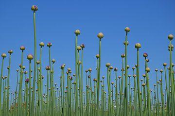 Allium von Corinna Vollertsen
