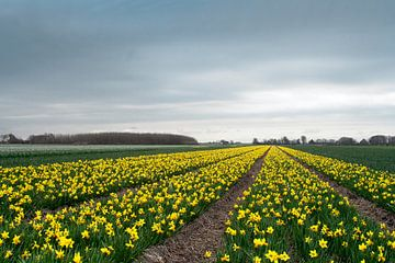 bulb flower field van