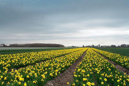 bulb flower field