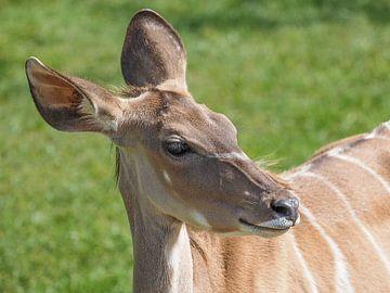 Grote Koedoe, Antilope : Diergaarde Blijdorp van Loek Lobel