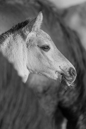 Paarden | Zwart wit dieren - konikpaard veulen, Oostvaardersplassen van Servan Ott