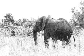 Schwarz-Weiß-Foto eines afrikanischen Elefanten von Bobsphotography