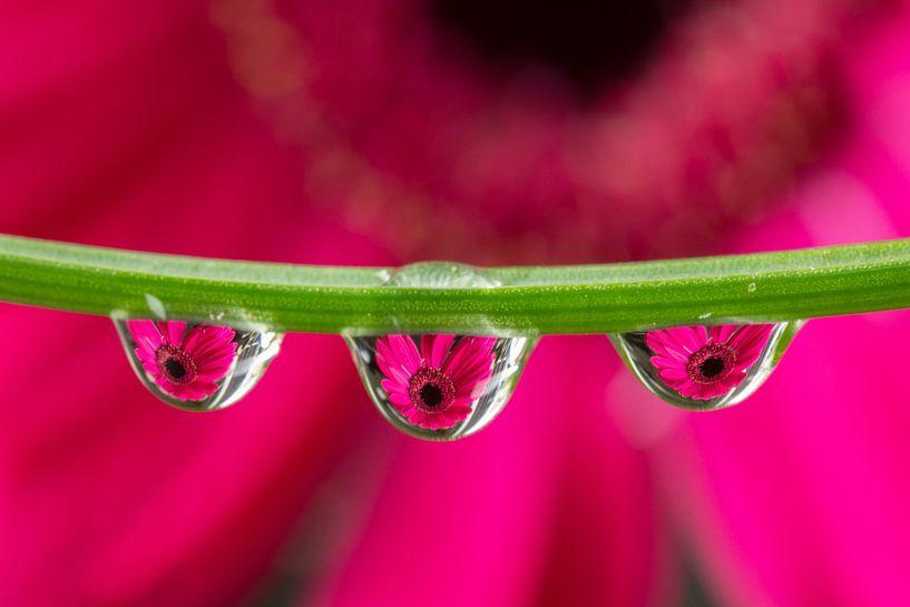Triplet Gerbera (roze) van Jacqueline Gerhardt