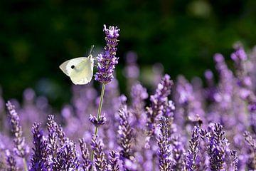 Kohlweiß auf Lavendel von Ronenvief