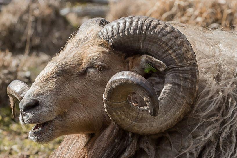 Drents heide schaap van Jeannette Braamskamp