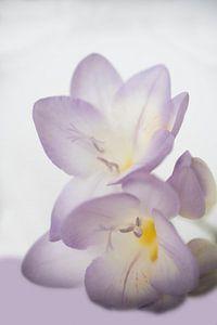 Lila bloem van