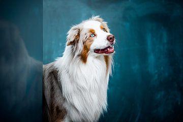 Australischer Schäferhund von Lotte van Alderen