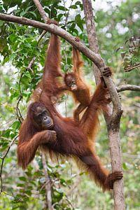 Borneose Oran-oetan (Pongo pygmaeus) moeder en kind hangend aan een boomtak