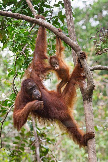 Borneose Oran-oetan (Pongo pygmaeus) moeder en kind hangend aan een boomtak van Nature in Stock