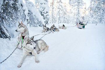 Sledehonden rusten sneeuw Lapland van Rene du Chatenier