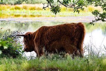 Schottischer Hochlandbewohner in Witteveen von Remco Ditmar