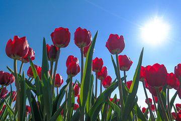 Rode tulpen van Angelique Rademakers