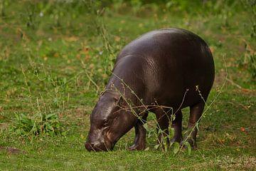 broute de la verdure fraîche et regarde. mignon petit hippopotame nain libérien (hippopotame pygmée) sur Michael Semenov
