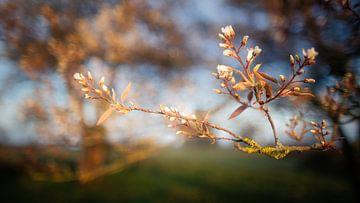 Blüte der Johannisbeeren von Anneke Hooijer