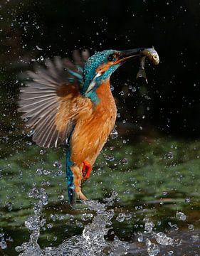 Ijsvogel duikt op van Gejo Wassink