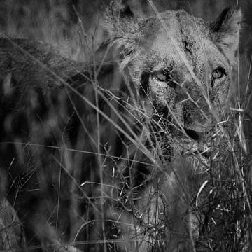 Leeuwin in het Kurgerpark van Arthur van Iterson