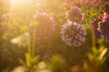 rote und weiße Dahlie in einem Feld von Blumen während des Sonnenuntergangs von Margriet Hulsker