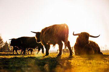 Naturfotografie - Schottische Highlander in der Sonne von Michiel de Bruin