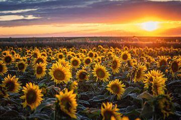 Zonnebloemen bij zonsondergang van Steffen Gierok
