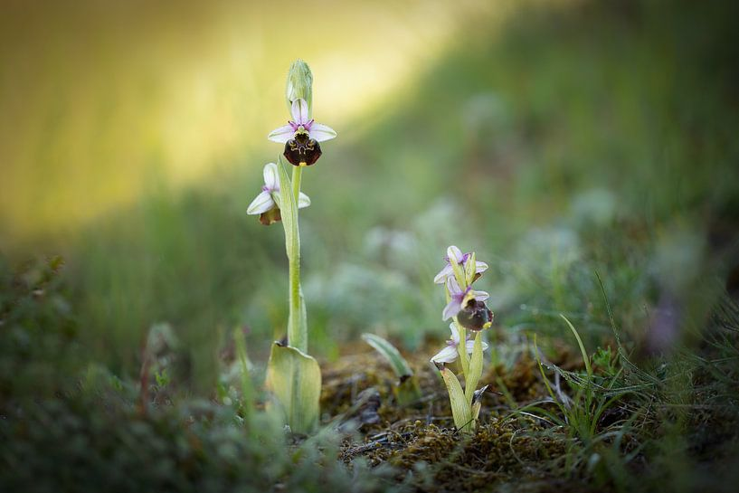 Wilde Orchideeën van Yvonne Kruders