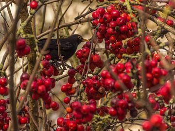 (25074) Amsel zwischen den roten Beeren von didier de borle