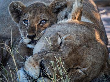 Löwe und Jungtier von Marc Van den Broeck