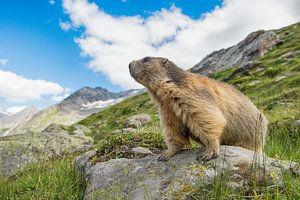 Alpen marmot op te uitkijk van