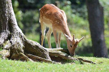 hert / deer van Pascal Engelbarts