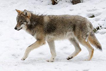 Grey Wolf ( Canis lupus ) in winter van wunderbare Erde