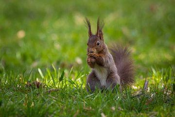 Eichhörnchen im Frühling von Tobias Luxberg