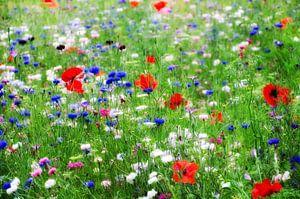 Bloemenveld met klaprozen en korenbloemen